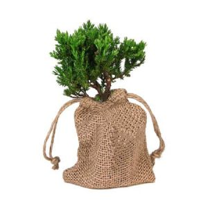 Starter Bonsai Tree in Burlap Bag