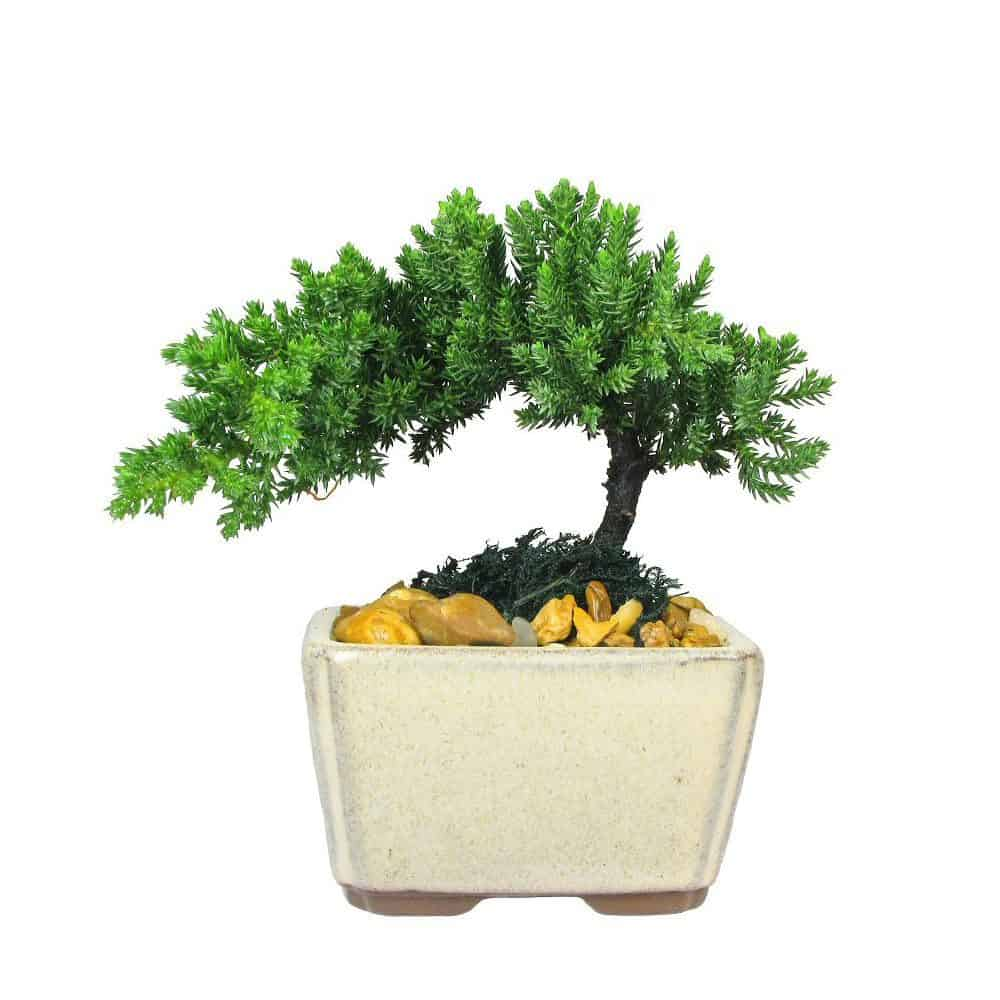 Wholesale Mini Japanese Juniper Bonsai Tree