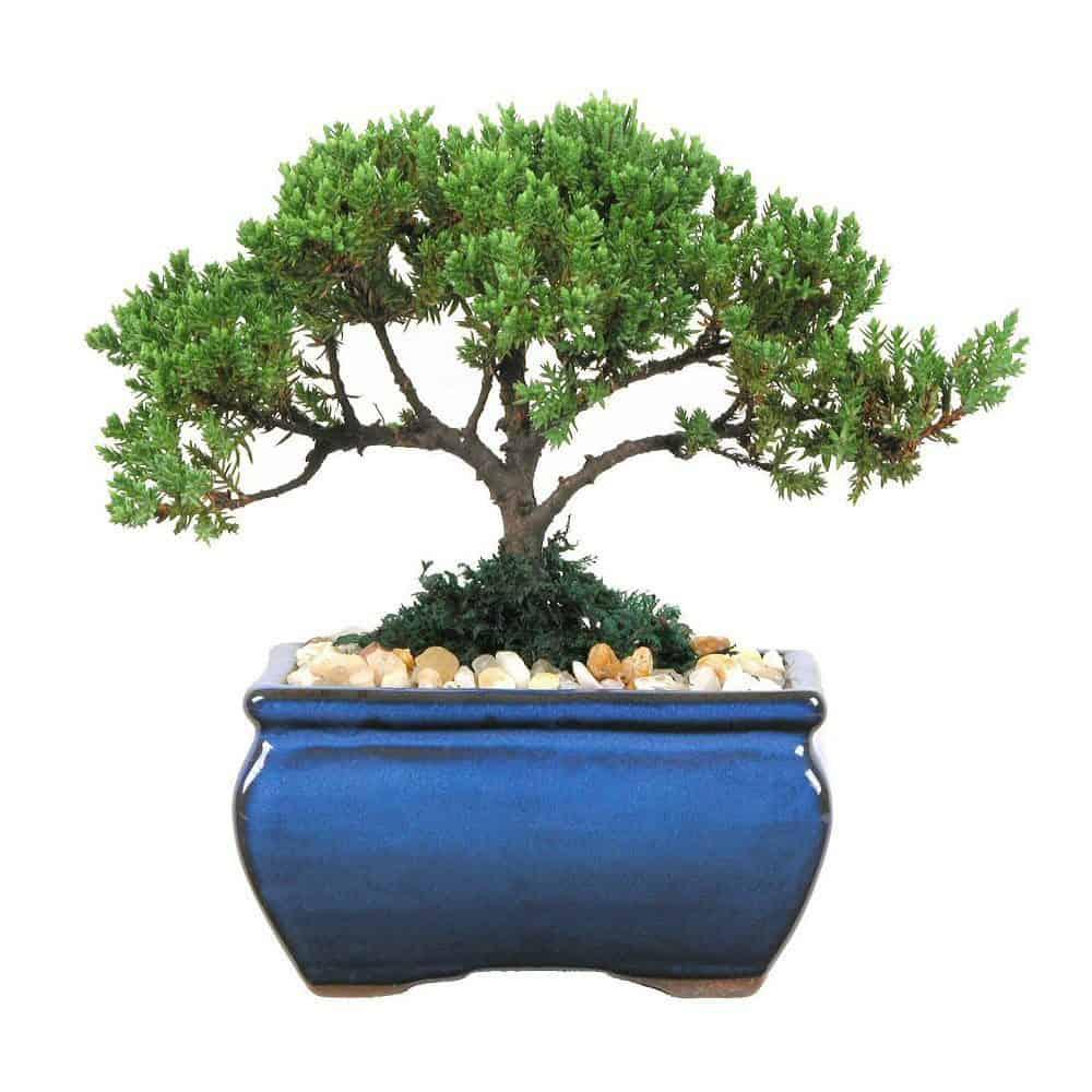 Wholesale Petite Japanese Juniper Bonsai Tree