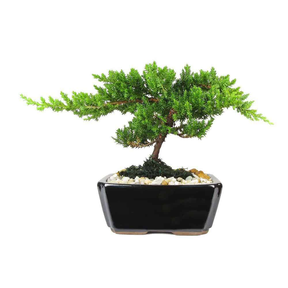Wholesale Small Japanese Juniper Bonsai Tree