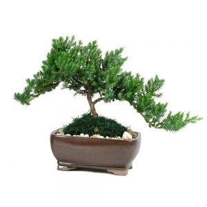 Wholesale Medium Japanese Juniper Bonsai