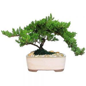 Wholesale Large Japanese Juniper Bonsai