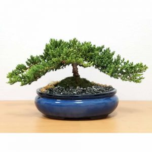 Wholesale Extra-Large Japanese Juniper Bonsai