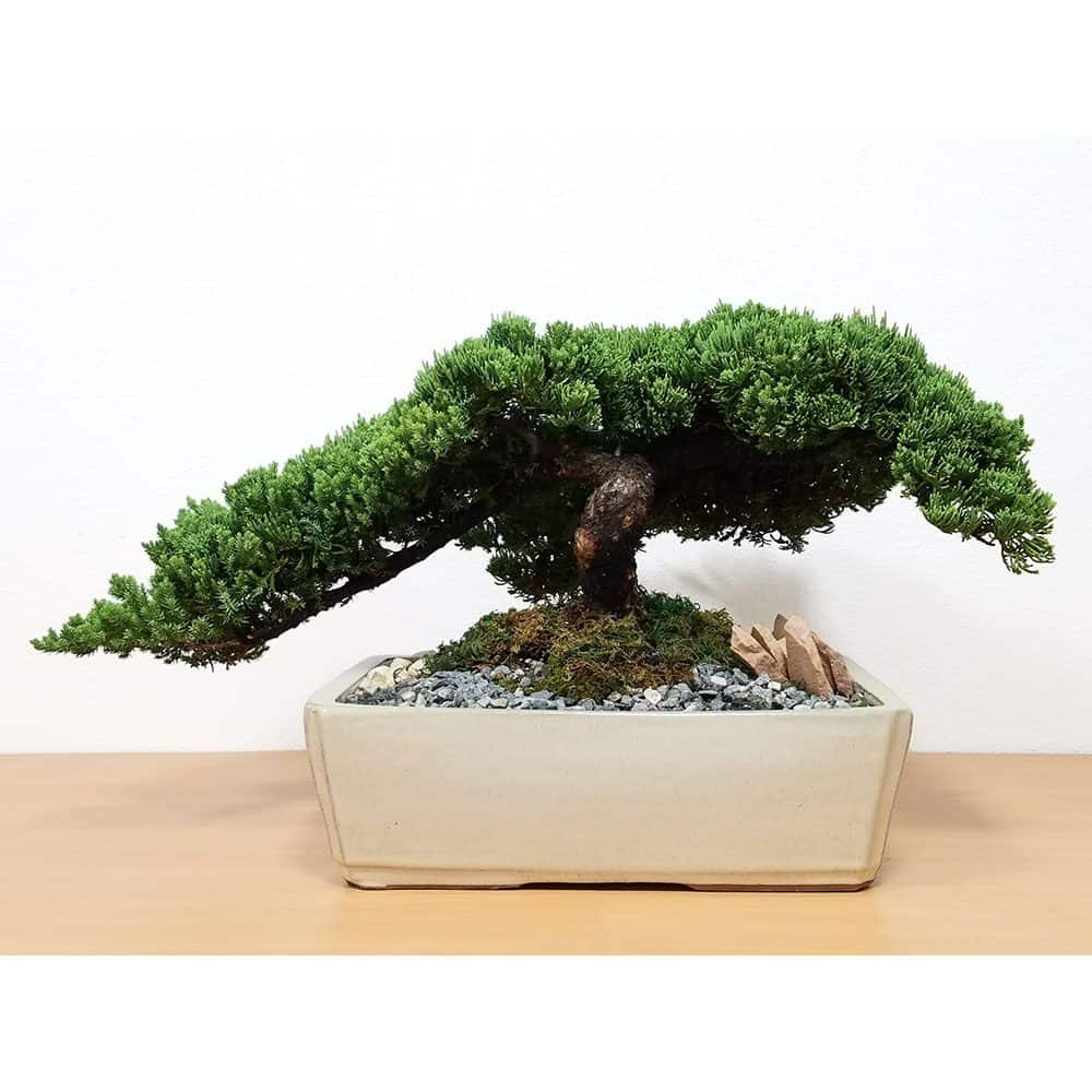 Wholesale Specimen Japanese Juniper Bonsai