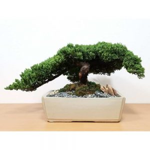 Wholesale Specimen Japanese Juniper Bonsai