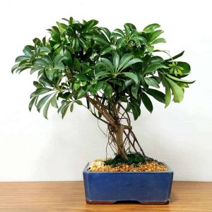 "Wholesale 10"" Schefflera Bonsai Tree"