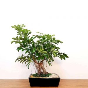 Wholesale Schefflera Bonsai 15""