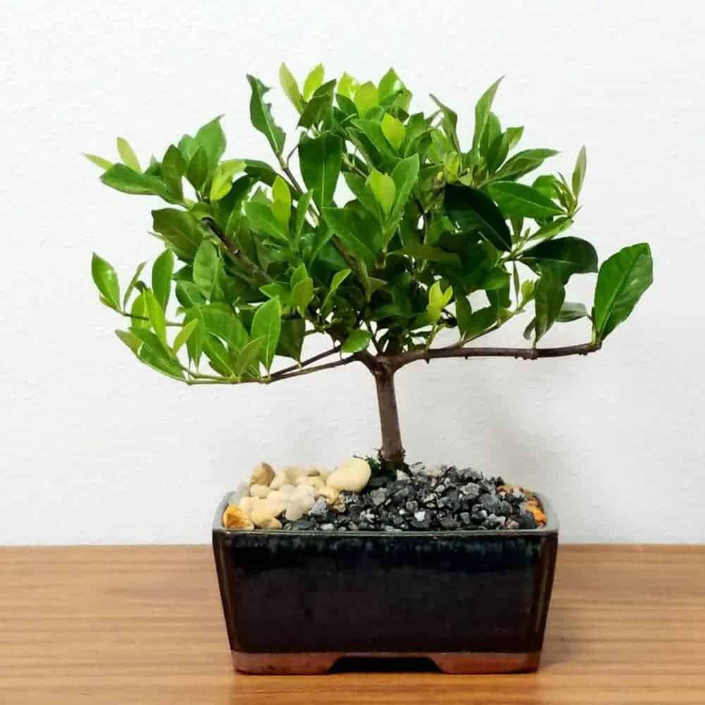 "Wholesale 6"" Gardenia Bonsai"