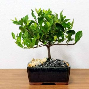 "Wholesale 6"" Gardenia Bonsai"