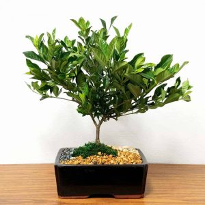 "Wholesale 10"" Gardenia Bonsai"