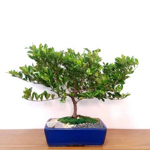 Wholesale Gardenia Bonsai 15""