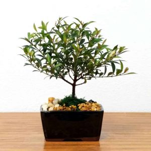 "Wholesale 6"" Cherry Blossom Bonsai"