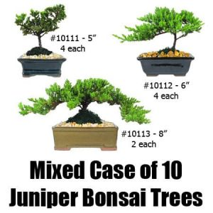 Mixed Case Juniper Bonsai