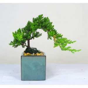 "Square Vase 3"" Bonsai"