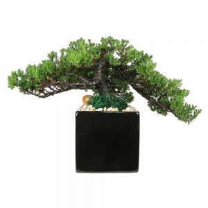 "Square 5"" Bonsai"