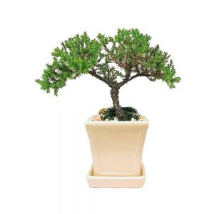Square with Tray Small Bonsai