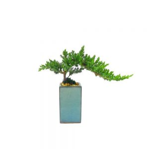 Tall Square Bonsai