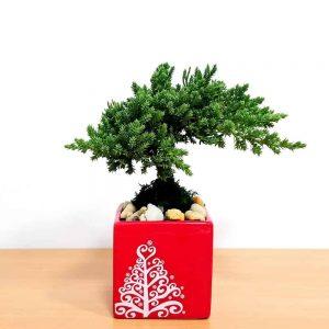 "Holiday Square Vase 3"" Bonsai"