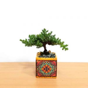 Tuscany Square Bonsai