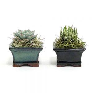 "Dish Garden 2.5"" Air Plants"