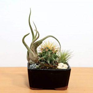"""Dish Garden 4"""" Air Plants, Succulents, Cactus"""