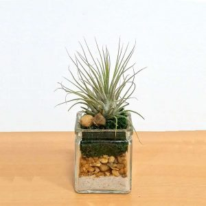 Square Glass 2x2 Air Plants, Succulents, Cactus