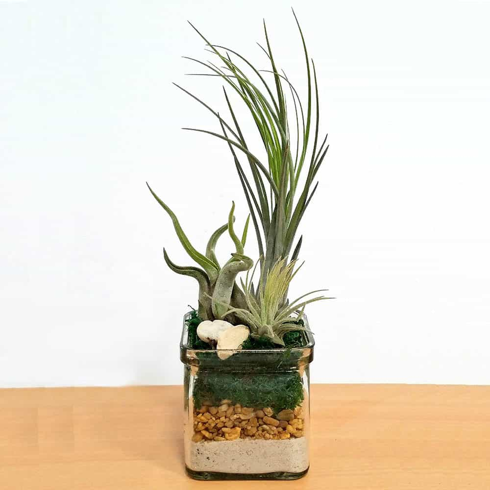 "Square Glass 3""x3"" Assorted Air Plants, Succulents, Cactus"