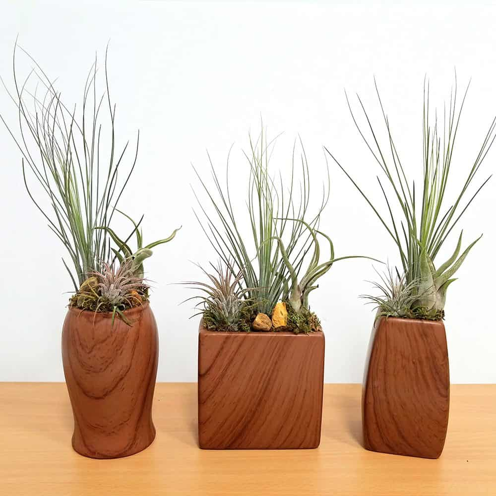 Woodgrain Vase Assortment Air Plants