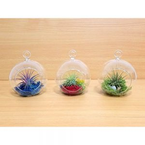 Glass Globe Hanging Air Plants