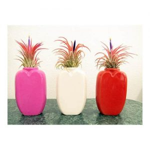 Passion Vase Assorted Air Plants