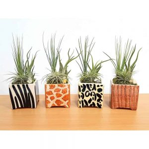 Square Vase Safari Print Air Plants & Succulents
