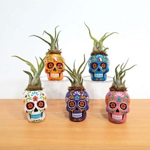 Day of the Dead Sugar Skull Small Air Plants