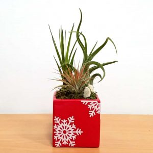"Holiday Square Vase 3"" Air Plants"