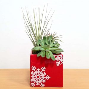 "Holiday Square Vase 4"" Air Plants"