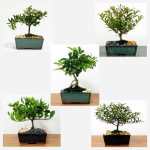 "Growers Choice 5"" Bonsai"
