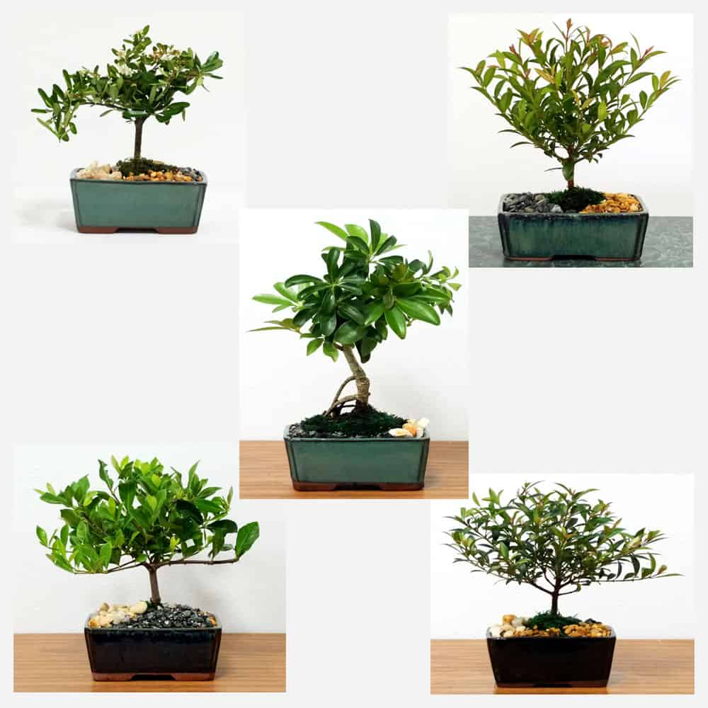 Growers Choice 5 Bonsai Tree Pack 12 Wholesale Eve S Garden Inc