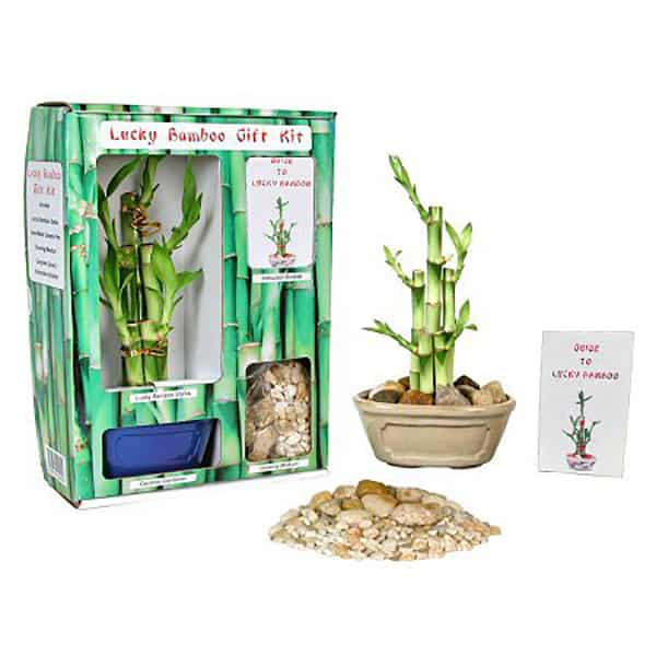 Lucky Bamboo Gift Kit
