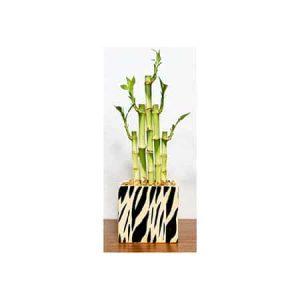 Rectangle Vase Safari Print Lucky Bamboo
