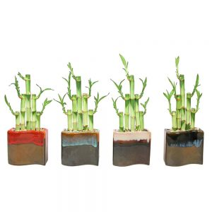 New Wave Vase Lucky Bamboo