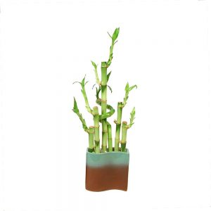 New Wave Vase Lucky Bamboo Spiral
