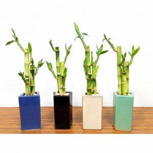 Trapezoid Vase Lucky Bamboo