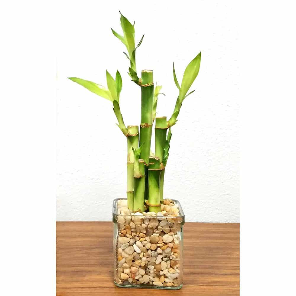 """Square 3"""" Lucky Bamboo"""