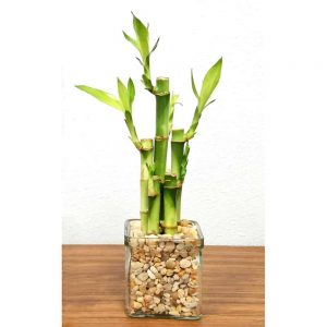 "Square 3"" Lucky Bamboo"