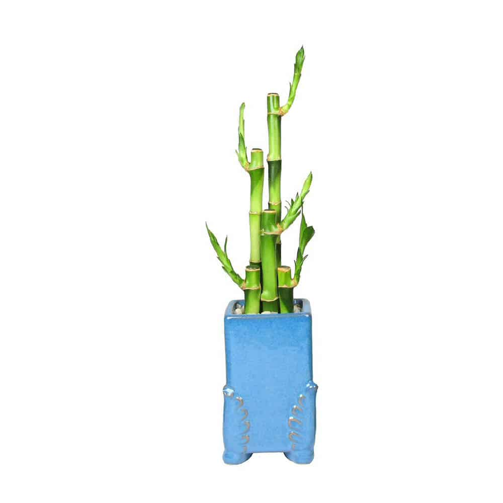 Rectangular Angel Wing Vase Lucky Bamboo