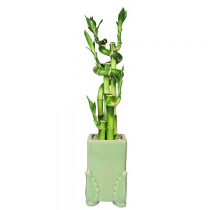 Angel Wing Rectangular Lucky Bamboo