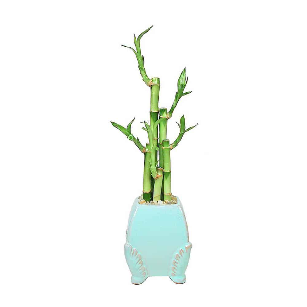 Curved Angel Wing Lucky Bamboo