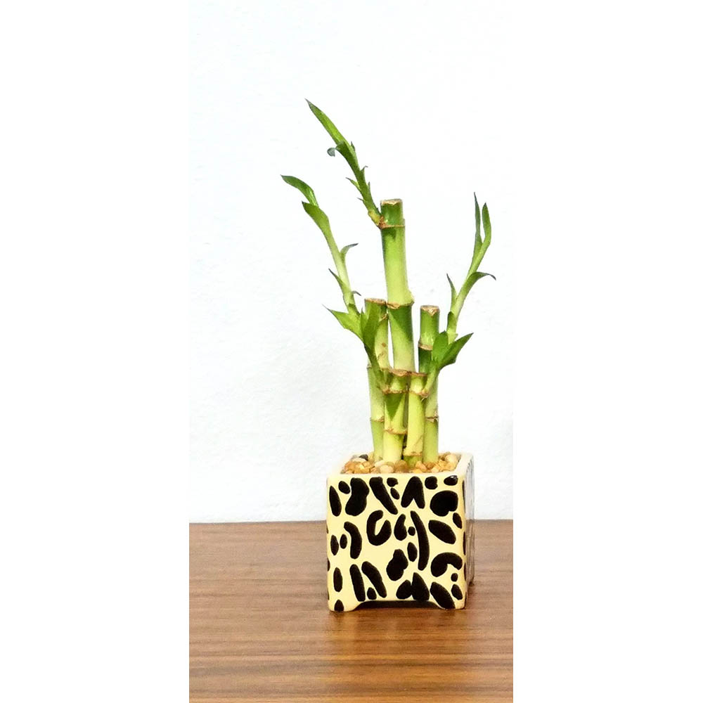 Square Vase Safari Print Lucky Bamboo