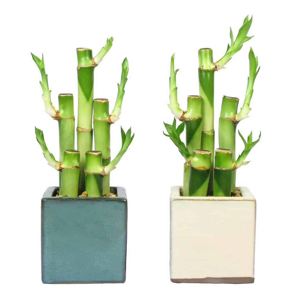 Square Vase Lucky Bamboo