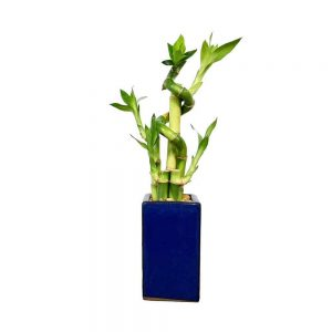 Tall Square Spiral Lucky Bamboo