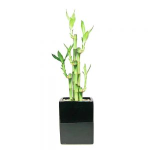 Black Two-Tone Vase Large Lucky Bamboo